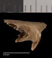 View Perognathus flavus flavus digital asset number 3