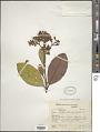 View Graffenrieda caryophyllea Triana digital asset number 1