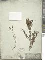View Echium fastuosum Salisb. digital asset number 1