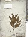 View Ossaea angustifolia Triana digital asset number 1