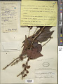 View Memecylon edule var. ovatum (A.J.E. Sm.) C.B. Clarke digital asset number 1