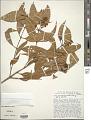 View Vismia guianensis digital asset number 1
