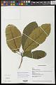View Sloanea amygdalina subsp. domingensis (Urb.) T.D. Penn. digital asset number 0