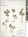 View Gaultheria procumbens L. digital asset number 2
