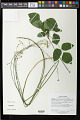 View Hylodesmum nudiflorum (L.) H. Ohashi & R.R. Mill digital asset number 0