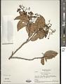 View Caraipa densiflora digital asset number 1