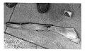 View Mesoplodon bowdoini Andrews, 1908 digital asset number 2
