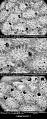 View Acanthocella erinacea Canu & Bassler, 1917 digital asset number 0