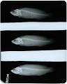View Rypticus brachyrhinus digital asset number 1