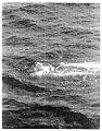 View Mesoplodon carlhubbsi Moore, 1963 digital asset number 0