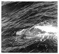 View Mesoplodon carlhubbsi Moore, 1963 digital asset number 1