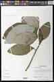 View Aristolochia panamensis Standl. digital asset number 0