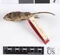 View Chaetodipus hispidus hispidus digital asset number 5