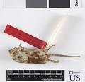 View Chaetodipus hispidus hispidus digital asset number 7