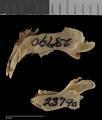View Perognathus inornatus inornatus digital asset number 4