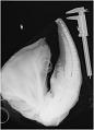 View Lagenorhynchus acutus (Gray, 1828) digital asset number 1