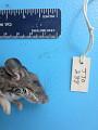 View Peromyscus leucopus leucopus digital asset number 1