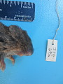 View Microtus pinetorum scalopsoides digital asset number 1