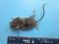 View Peromyscus maniculatus gracilis digital asset number 0