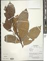 View Rinorea guianensis Aubl. digital asset number 1