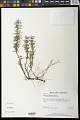 View Conradina verticillata Jennison digital asset number 0
