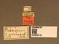 View Podagrion ashmeadi Crawford, 1910 digital asset number 3
