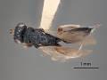 View Eurytoma bruneipennis Crawford, 1910 digital asset number 2