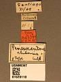 View Perissocentrus chilensis Crawford, 1910 digital asset number 3