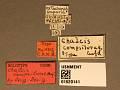 View Chalcis compsilurae Crawford, 1911 digital asset number 3