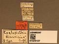 View Coelopisthia diacrisiae Crawford, 1910 digital asset number 3