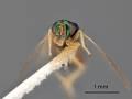 View Cratotechus hoplitis Crawford, 1911 digital asset number 0