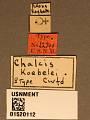 View Chalcis koebelei Crawford, 1910 digital asset number 3