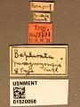 View Bephrata paraguayensis Crawford, 1911 digital asset number 3