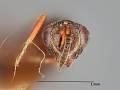 View Antistrophoplex bicoloripes Crawford, 1914 digital asset number 0