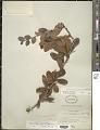View Xylosma flexuosa (Kunth) Hemsl. digital asset number 1