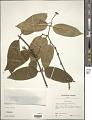 View Phaleria acuminata (A. Gray) Gilg digital asset number 1