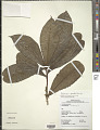 View Daphnopsis granvillei Barringer digital asset number 1