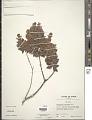 View Decaspermum fruticosum J.R. Forst. & G. Forst. digital asset number 1