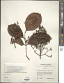 View Syzygium clusiifolium (A. Gray) Müll. Stuttg. digital asset number 1