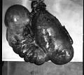 View Mesoplodon mirus True, 1913 digital asset number 9