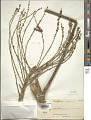 View Schefflera minutiflora Harms digital asset number 1