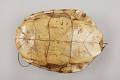 View Turtle-Shell Drum digital asset number 5