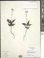 View Chimaphila maculata (L.) Pursh digital asset number 4