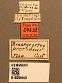 View Brachycyrtus pretiosus Cushman digital asset number 3