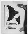 View Mesoplodon perrini Dalebout et al., 2002 digital asset number 10