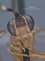 View Listrognathus (Fenestula) paludata california Townes digital asset number 0