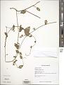 View Convolvulus nodiflorus Desr. digital asset number 1