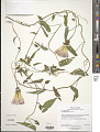View Calystegia sepium (L.) R. Br. digital asset number 2