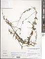 View Metastelma parviflorum (Sw.) R. Br. ex Schult. digital asset number 1