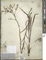 View Eriogonum longifolium Nutt. digital asset number 1